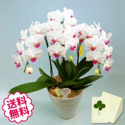 胡蝶蘭 ミディ 3本立(6号) 白系 ピンク系 黄色系