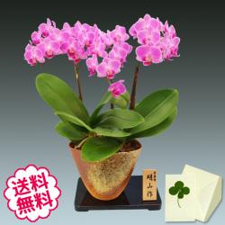 胡蝶蘭 ミディ 3本立 信楽焼鉢
