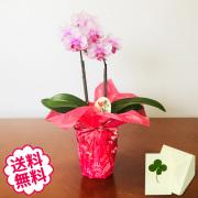 [敬老の日]テーブル胡蝶蘭 2本立(3号 小タイプ)