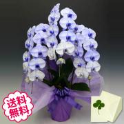 紫の胡蝶蘭 大輪 3本立 27輪以上(つぼみ含む)