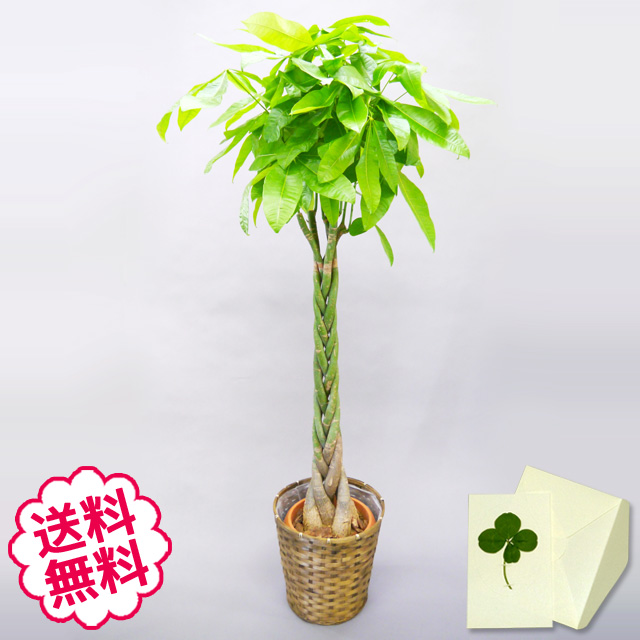観葉植物 パキラ 10号(籐かご、皿付)