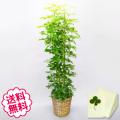観葉植物 カポック 10号(籐かご、皿付)