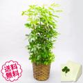 観葉植物 カポック 8号(籐かご、皿付)
