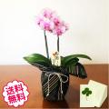 [敬老の日]テーブル胡蝶蘭 2本立 小倉織風呂敷包み(3号 小タイプ)