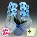 母の日プレゼント 青い胡蝶蘭 大輪 2本立 18輪以上