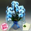 母の日プレゼント 青い胡蝶蘭 大輪 3本立 27輪以上