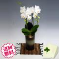 胡蝶蘭 ミディ アマビリス 「和鉢 かぐや」(敷物付) 2本立以上