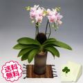 胡蝶蘭 ミディ ハルガスミ 「和鉢 かぐや」(敷物付) 2本立以上