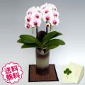 胡蝶蘭 ミディ サクラヒメ 「和鉢 かぐや」(敷物付) 2本立以上