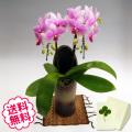 胡蝶蘭 ミディ スーパーマーメイド 「和鉢 かぐや」(敷物付) 2本立以上