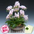胡蝶蘭 ミディ ハルガスミ 「和鉢 まどか」(敷物付) 8本立以上