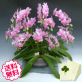 胡蝶蘭 ミディ スーパーマーメイド 「和鉢 まどか」(敷物付) 8本立以上