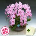 胡蝶蘭 大輪 ピンク 「和鉢 まどか」(敷物付) 5本立