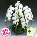 胡蝶蘭 大輪 白 「和鉢 まどか」(敷物付) 5本立