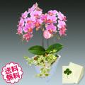 胡蝶蘭 ミディ 2本立 観葉植物寄せ