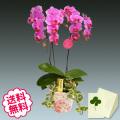 胡蝶蘭 ミディ 2本立 花柄鉢 観葉寄せ