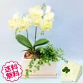 胡蝶蘭 ミディ 2本立  パルテノ鉢入り 観葉植物寄せ
