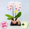 胡蝶蘭 ミディ 2本立 信楽焼鉢