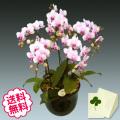 胡蝶蘭 ミディ 5本立(6.5号)
