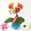 マイクロ胡蝶蘭 1本立 キャンドルグラス鉢
