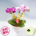 マイクロ胡蝶蘭 3本立 MIX寄せ(3色)