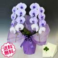 母の日プレゼント 紫の胡蝶蘭 大輪 2本立 18輪以上