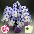 紫の胡蝶蘭 大輪 5本立 45輪以上(つぼみ含む)
