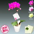 胡蝶蘭 テーブル 1本立 BOX入り 小タイプ