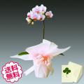 胡蝶蘭 テーブル 1本立