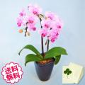 胡蝶蘭 テーブル 2本立 小タイプ
