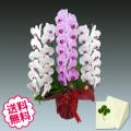 胡蝶蘭 大輪 ミックス(リップ(紅白)+ピンク寄せ) 3本立 40輪前後(つぼみ含む)