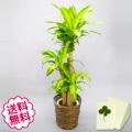 観葉植物 幸福の木 8号(籐かご、皿付)