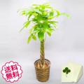 観葉植物 パキラ 8号(籐かご、皿付)
