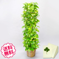 観葉植物 ポトス 10号(籐かご、皿付)