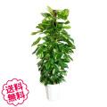 観葉植物 ポトス 10号(鉢カバーなし、鉢皿なし、ギフト不向き)