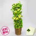 観葉植物 ポトス 8号(籐かご、皿付)