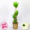 観葉植物 ユッカ 10号(籐かご、皿付)