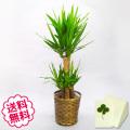 観葉植物 ユッカ 8号(籐かご、皿付)