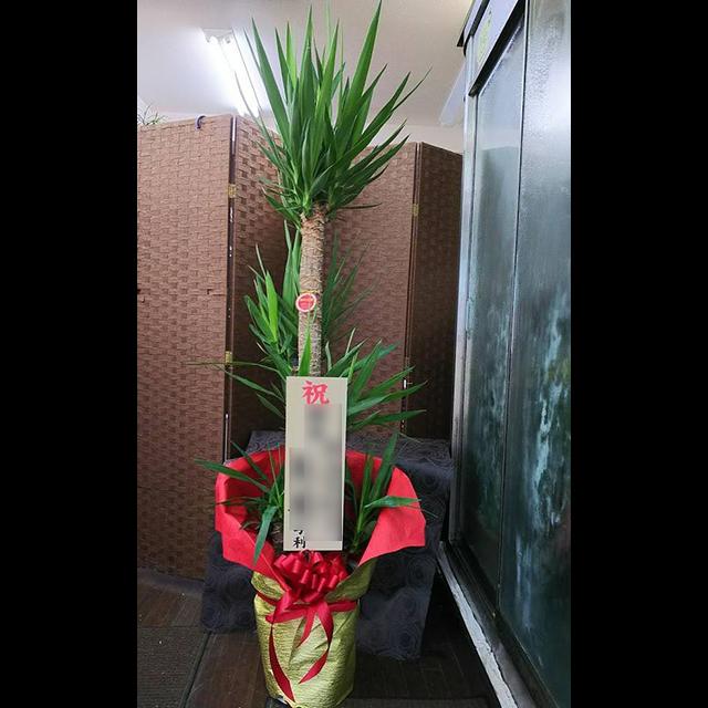 観葉植物 ユッカ 10寸