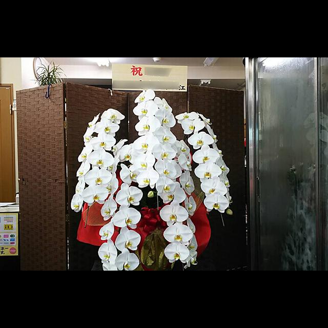 胡蝶蘭白 5本立