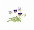 玉村豊男【紫の三色スミレ】