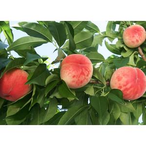 川中島は福島県産白桃を送料無料