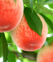 【当園でダントツの人気桃!】わけあり桃が伝える本当の自然!「山育ちの桃」(16~18個)