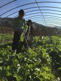 熊本産●有機JAS認定のオーガニックミニ白菜 (3株)
