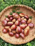 【お得です!】●9月より収穫予定●ミックス栗(農薬不使用の杉光、筑波、銀寄など・3キロ)