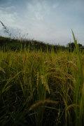 新堀さんの熊本産・自然栽培米●20年前から農薬・肥料不使用(5キロ)