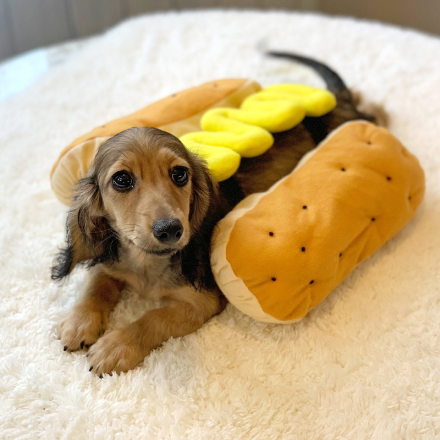 Casual Canine Hot Diggity Dog Costume S Mustard