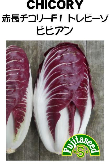 赤長チコリーF1トレビーゾ ビビアン