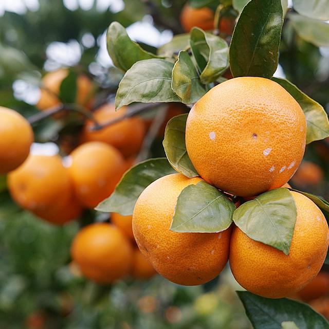 【紀州 幻の越冬みかん】季節限定・高糖度の和歌山県は大坊地区で栽培するみかん産地直送品 3kg