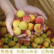 紀州、和歌山県産,無農薬南高梅の生梅(完熟生梅),梅干し用 1kg【冷蔵便】